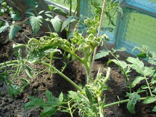Аспермия томатов