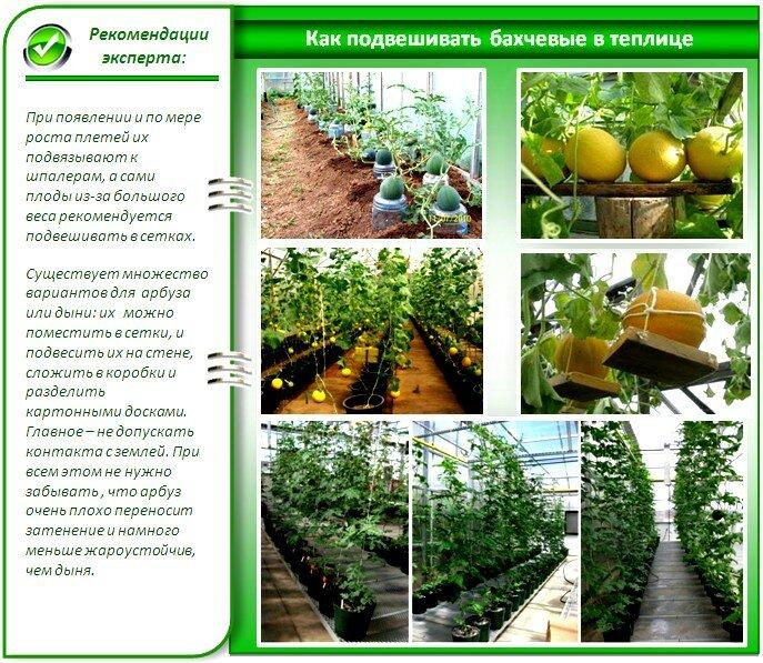 Выращивание арбузов в открытом грунте прищипывание 6