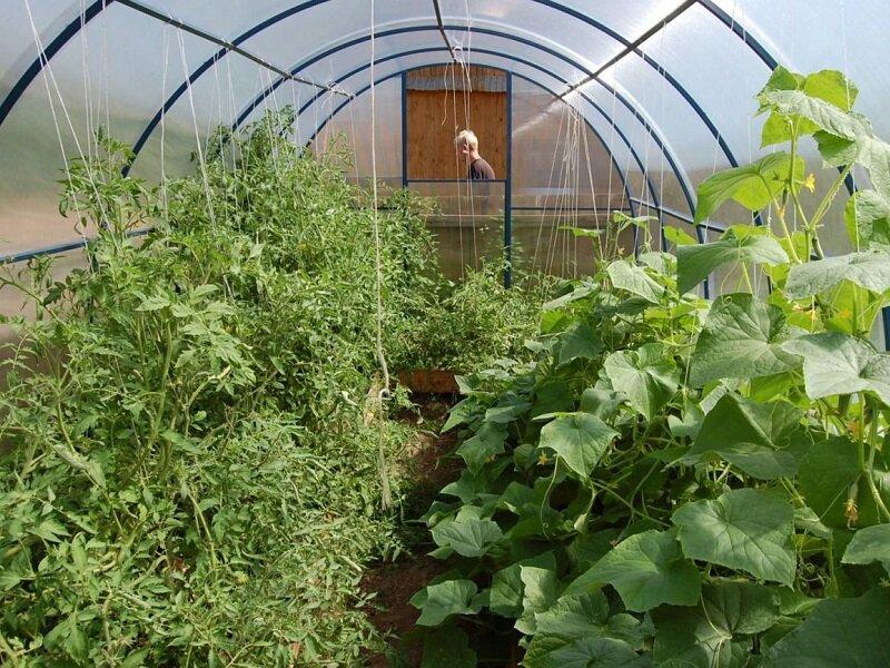 Огррцы и помидоры в теплице
