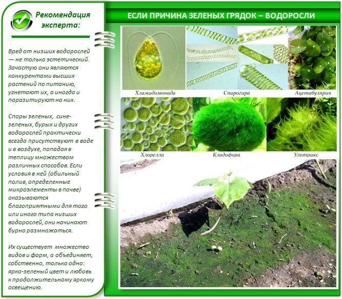 Водоросли - причина позеленения