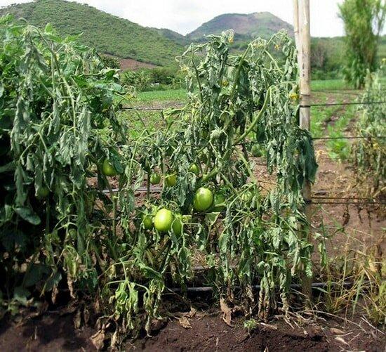 Увядание томатов