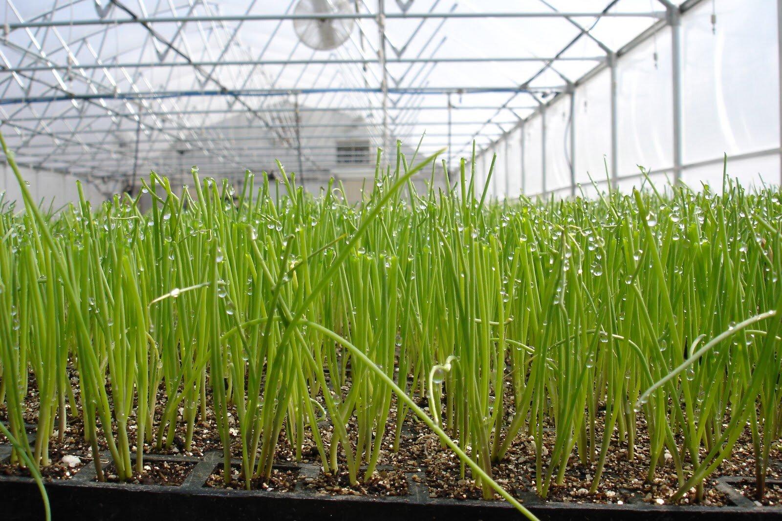 Выращивание зелени в теплице зимой: секреты для 40