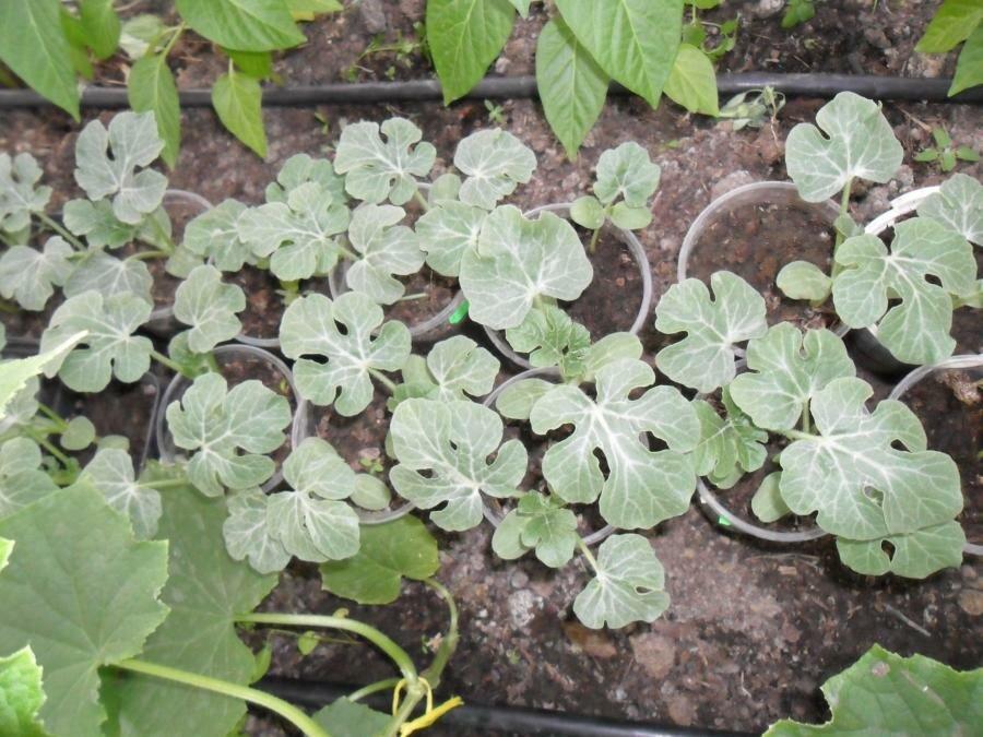 Выращивали рассаду арбуза 57
