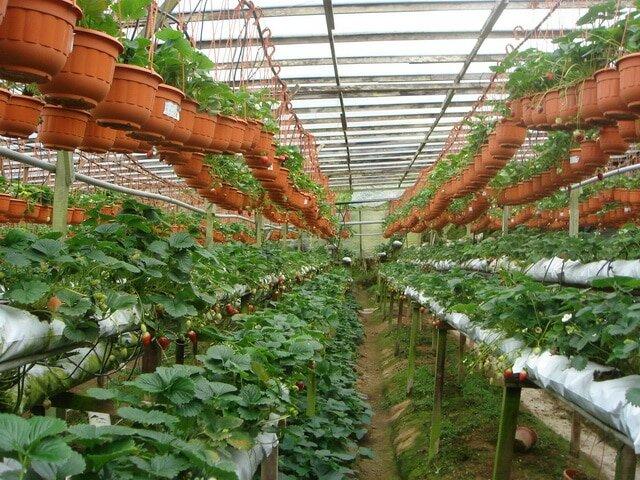 Зреет урожай в теплице