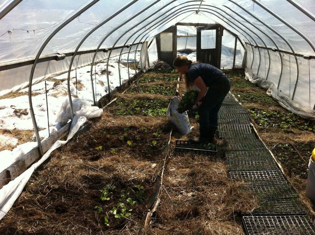 Виноград в теплице технология выращивания 680