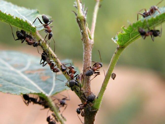 Бурые муравьи