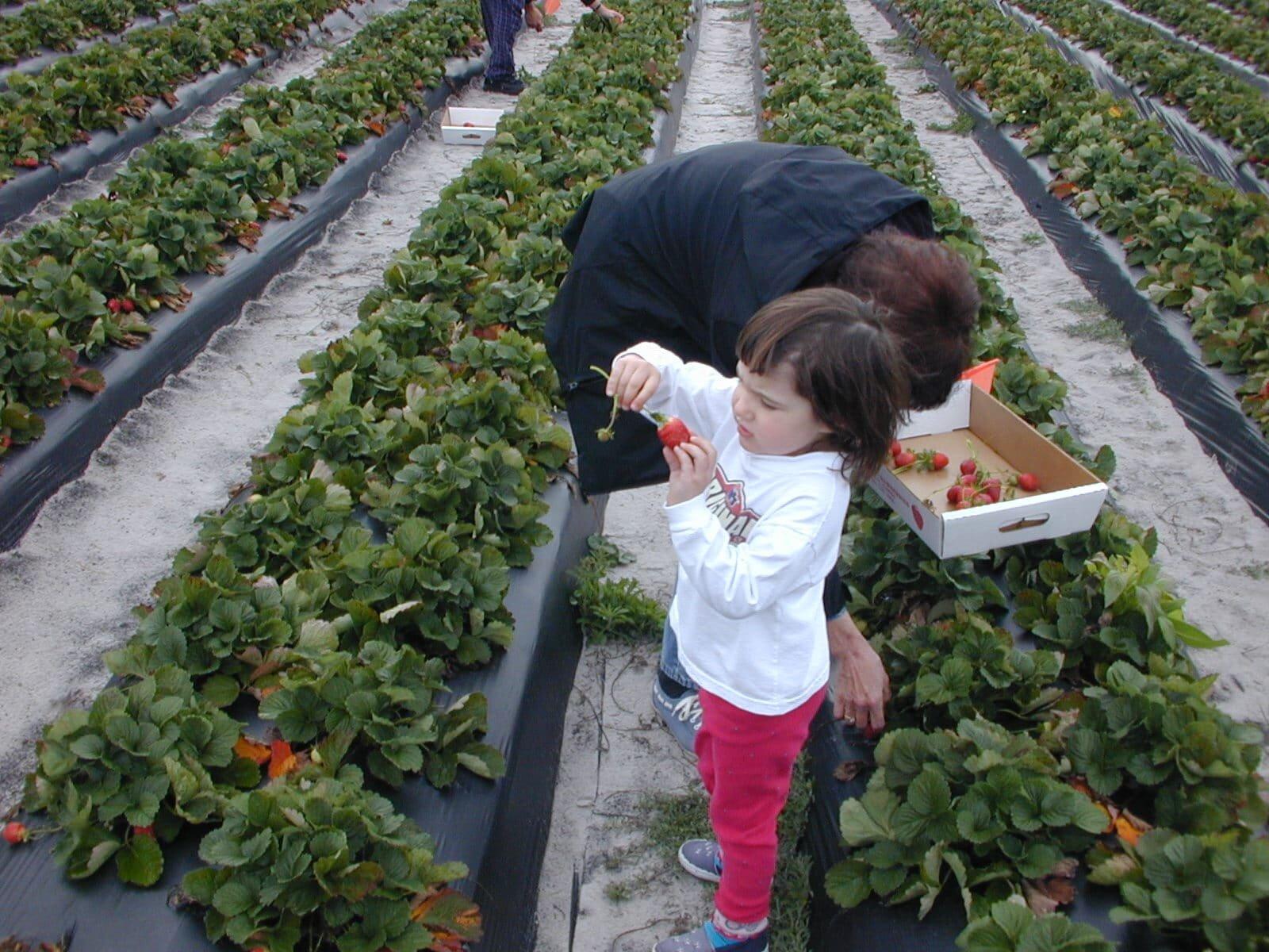 Выращивание клубники по голландской системе 26