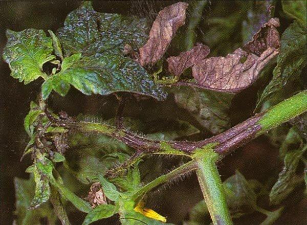 Погибшие листья томатов