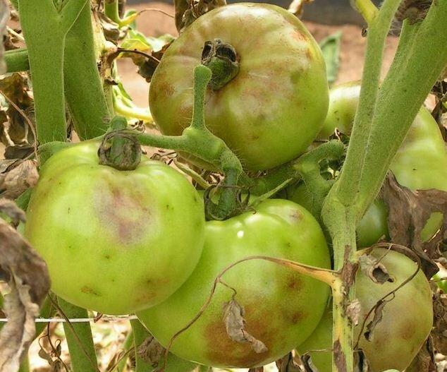 Фитофтора плодов