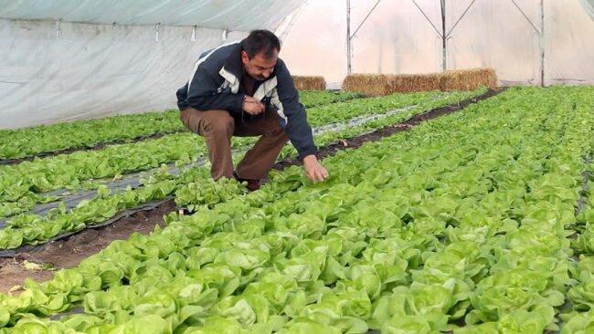Грядки с салатом