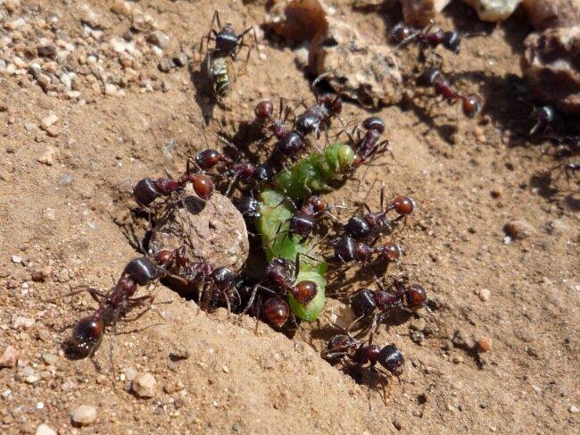 Муравьи едят гусеницу