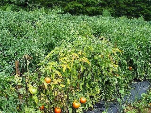 Почему желтеют листья у рассады помидоров: причины и методы предупреждения