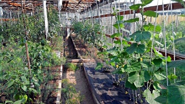 Огурцы и томаты растут вместе