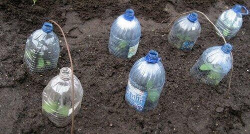 Выращивание под бутылками