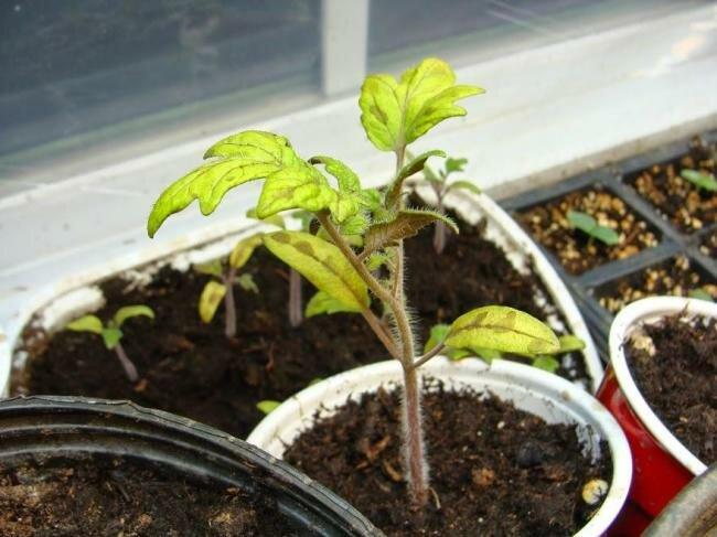 Переохлаждение рассады томатов
