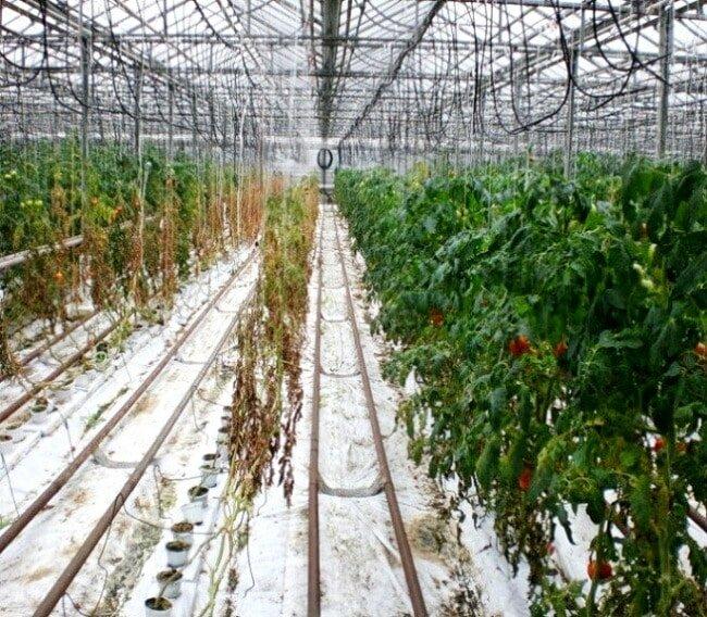 Погибшие кусты томата