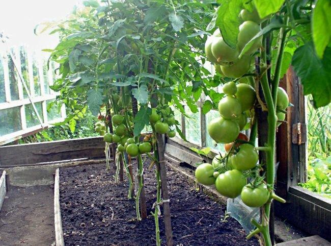 Проветривание томатов
