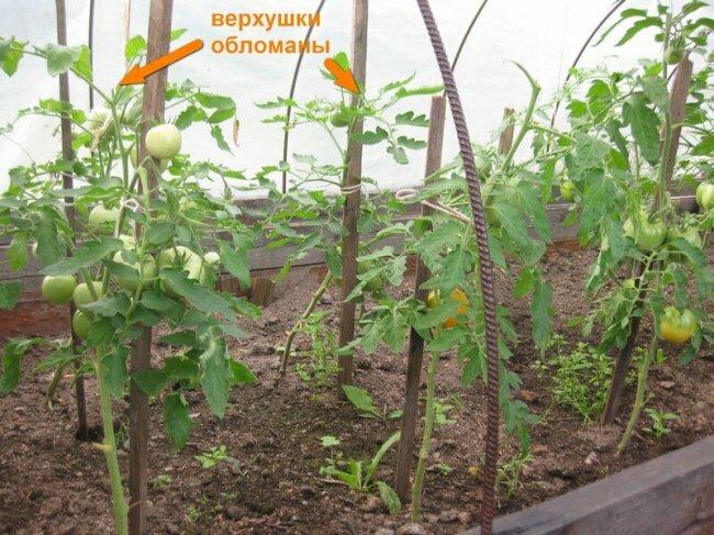 Вершкование томатов