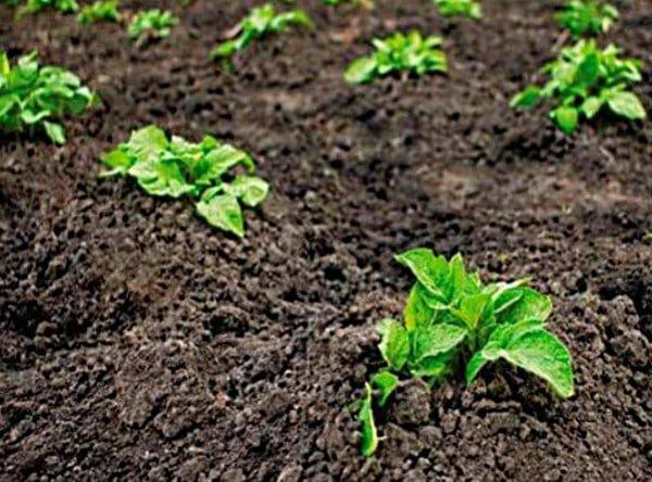 Чистые ряды картофеля