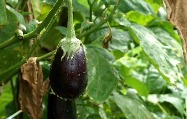 Здоровые плоды баклажанов