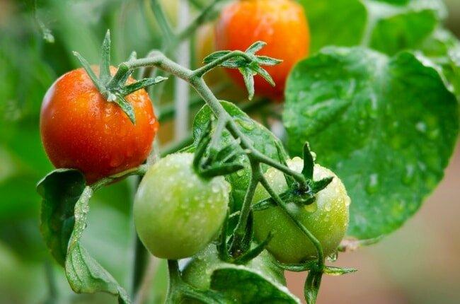 Здоровые помидоры