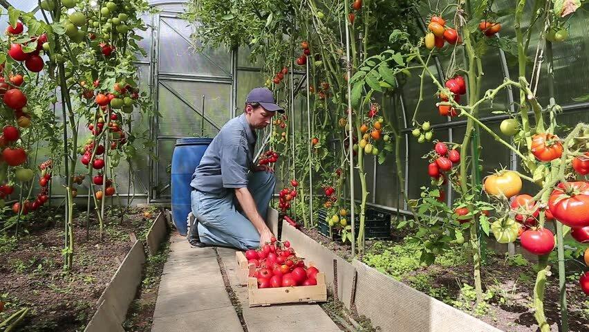 Как выращивать помидоры в теплице, секреты садоводов 3