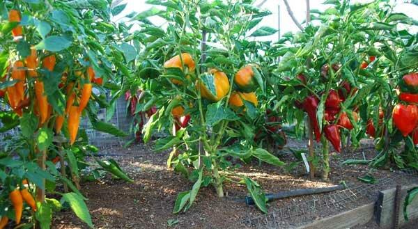 Урожай перцев